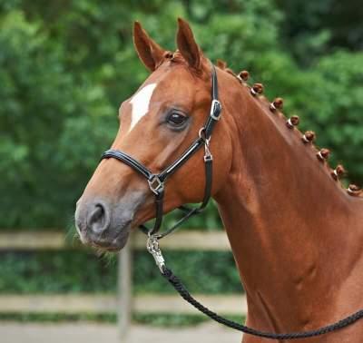 BUSSE solibel Halfter GLOSS, Leder, Pony, schwarz/silber